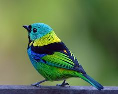 Y'all, Fat Birds is on their grind tonight. Also, this bird looks like he would never stoop to posting about his breakup on Facebook.   fat-birds:    Green-headed Tanager (Tangara seledon) by Frank Shufelt on Flickr.
