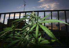 Los adolescentes españoles, a la cabeza de los países ricos en consumo de cannabis. http://www.farmaciafrancesa.com