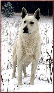 White German Shepherd.