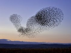 Flock of Starlings - hqworld.net - high quality sport and celebrity ...