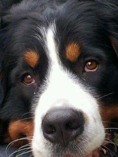 Love that face #BerneseMountainDog
