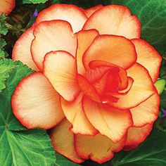 Summer Blooming: Jung Seed Company Annual Plants, Begonia, Hanging Baskets, Perennials, Seeds, Bloom, Organic, Rose, Summer
