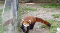 レッサーパンダ 八木山レッサーリポート+ #35  おやつタイム映像グランプリ Red Panda