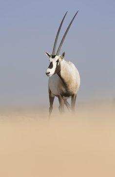 Arabian Oryx (Oryx leucoryx) in the United Arab Emirates (Photo: Kristian Bell). Beautiful Creatures, Animals Beautiful, Cute Animals, Wild Animals, Nature Pictures, Animal Pictures, Arabian Oryx, African Antelope, Safari