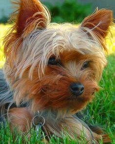Yorkshire Terrier is one of the most popular dog breeds in the world, and despite their small size, Yorkies have big personalities.