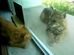 [cat video]There was a wild bobcat out of the window