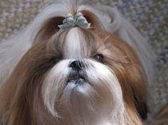 Beautiful long haired shih tzu