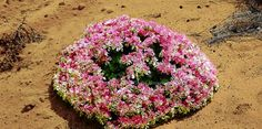 Wreath flower from Western Australia plant grows in expanding circles. Native Plants, Outdoor Decor, Flowers, Bloom, Australian Native Plants, Growing, Garden, Real Flowers, Plants