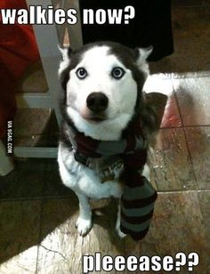 This is why I have to miss some school days. - Funny Husky Meme - Funny Husky Quote #husky #funny #funnyhusky -  This is why I have to miss some school days.