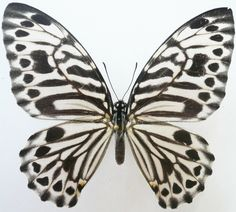 Graphium Butterfly (Delesserti Female Species Butterflies, Sabah North Bornero, Insect Collection)