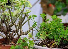 Planters comment and tvs on pinterest for Comment arroser les geraniums