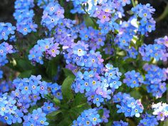 Buy forget-me-not Myosotis sylvatica: Love these flowers but remember they are really invasive! Delivery by Crocus.co.uk