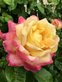 Love And Peace rose Beautiful Rose Flowers, Pretty Roses, Flowers Nature, Amazing Flowers, Yellow Roses, Pink Roses, Pink Flowers, Most Popular Flowers, Rose Pictures