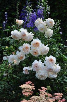 "°cottage garden° ROSE ""Crocus Rose"""
