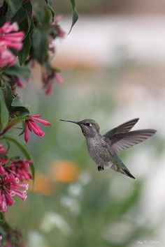Mrs. Little Anna's Hummingbird by Amy Gallager