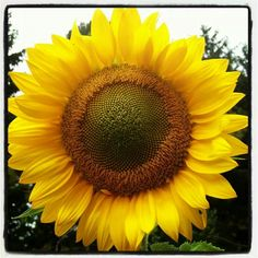 Love Sunflowers!