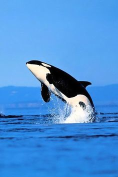 I've seen these amazing creatures in Sea World but it would be great to see one in wild