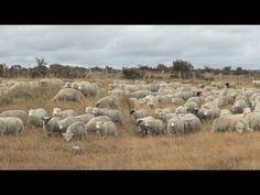 They follow the Lamb wherever He goes: Как овца на заклание