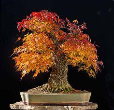 This stunning Japanese Maple (Arakawa) Bonsai is on fire Autumn has arrived. Mini Bonsai, Indoor Bonsai, Bonsai Plants, Red Maple Bonsai, Japanese Red Maple, Japanese Maple Bonsai, Bonsai Seeds, Miniature Plants, Autumn Photography