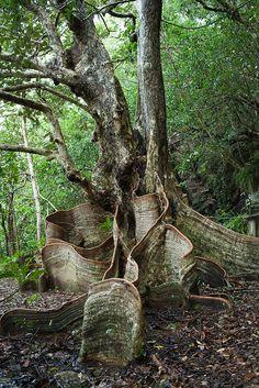 Buttress roots of looking-glass mangrove in Yanbaru jungle, Okinawa, Japan | Flickr - Fotosharing!