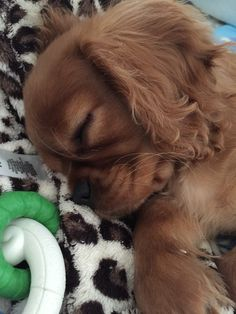 Discover Smart Cavalier King Charles Spaniel Exercise Needs Spaniel Puppies, Baby Puppies, Cute Puppies, Cute Dogs, Dogs And Puppies, Cocker Spaniel, Doggies, Cavalier King Spaniel, Cavalier King Charles Dog
