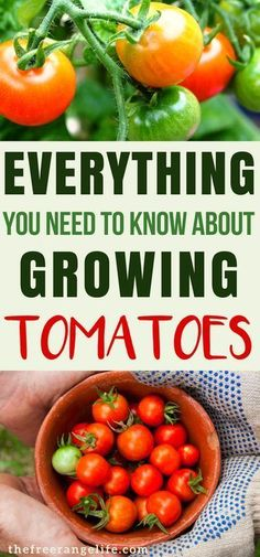 Tips for Growing Tomatoes: Learn everything there is to know about growing tomatoes in your backyard garden. Gardening for Beginners| Organic Gardening | Garden Tips #organicgardening