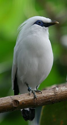 Bali Star or Rothchild's Mynah, (Leucopsar rothschildi), found only on the island of Bali.  It is threatened with extinction mainly due to deforestation. by Cburnett