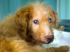 SAFE --- TO BE DESTROYED - 3/29/14  Manhattan Center    My name is TUNTUN. My Animal ID # is A0994018.  I am a male brown and white poodle min mix. The shelter thinks I am about 8 YEARS old.   I came in the shelter as a STRAY on 03/15/2014 from NY 10454, owner surrender reason stated was ABANDON.   https://www.facebook.com/photo.php?fbid=772644939415054&set=a.611290788883804.1073741851.152876678058553&type=3&permPage=1