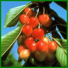 Knorpelkirschen oder Knuppern sind spätreifend Cherry, Fruit, Vegetables, Food, Cherries, Garten, Vegetable Recipes, Eten, Veggie Food