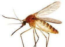 découvrez nos remèdes naturels contre les moustiques