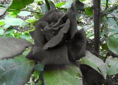 Этот прекрасный мир: Черные розы из деревушки Halfeti