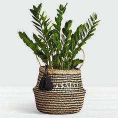 ZZ Plant Floor Plant - Floor Plants - Ideas of Floor Plants - Easy Care Indoor Plants, Indoor Plants Online, Indoor Floor Plants, House Plants Decor, Plant Decor, Cactus Decor, Cactus Art, Cactus Plants, Zz Plant