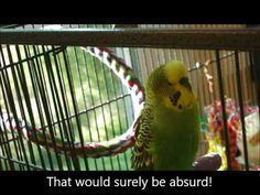 """The Bird is Absurd!"" New video from Disco the Parakeet, our goofy talking parakeet."