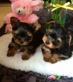 Cute Animals Puppies, Cute Puppies, Cute Dogs, Dogs And Puppies, Baby Animals, Teacup Yorkie, Teacup Puppies, Yorkie Puppies For Adoption, Yorkie Puppy