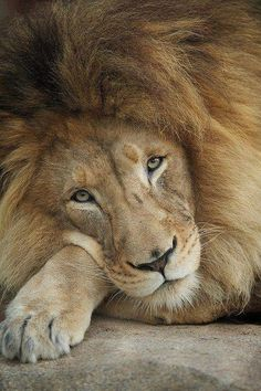 lion showing his tender side #animals, #pets, #cute, #funny