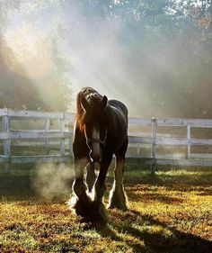 Clydesdale in morning light