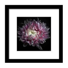 Pink Dhalia Framed Print by Flower Photography By Viorica Maghetiu Flower Photography, Hanging Wire, Clear Acrylic, Fine Art America, Design Inspiration, Framed Prints, Artwork, Flowers, Pink