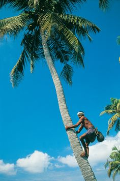 Ever seen the tiny drops of toddy oozing to the clay pot atop a #coconut tree? This natural alcohol is tapped from the flower of coconut palms through a systemic process which requires deft skills. Dawn and dusk, this is a common sight at the #Kerala backwater villages. (Image: Kerala Tourism)