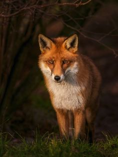 Red Fox by Clive Burrow on Nature Animals, Zoo Animals, Cute Animals, Pretty Animals, Wolf Pictures, Cute Animal Pictures, Beautiful Dogs, Animals Beautiful, Fox Collection