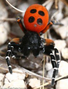 Raras, as aranhas-joaninha vêm reconstituindo a sua população, após terem sido consideradas extintas no Reino Unido.