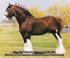 American Livestock Breeds Conservancy: Clydesdale Horse - a gentle giant