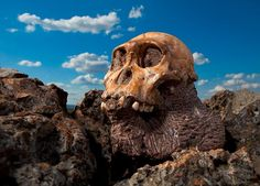 The skull of the young male Australopithecus sediba rests near the spot in Africa where he died.  Photograph by Brent Stirton, National Geographic