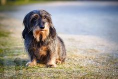 Cute Dogs Breeds, Cute Dogs And Puppies, Dog Breeds, Dapple Dachshund, Long Haired Dachshund, Most Beautiful Dogs, Puppy Images, Dog Wallpaper, Dachshund