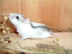 Chinese Hamster information.  Southern Hamster club.  Has a piece on Dwarf hamsters as well.