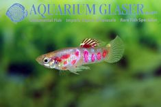 """This charming sport of the Guppy is said to have been developed in Japan. The name of the Japanese breeder is cited as Tanaka. The """"Ginga Rubra"""" is a very lively and robust sport. Our specimens are German bred ones, the basic colour of our fish is blond. For our customers: the fish have code …"""