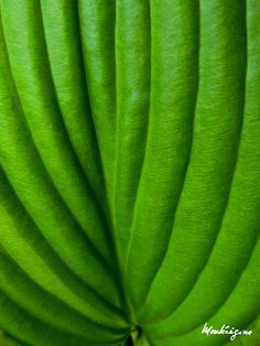 hosta leaf structure