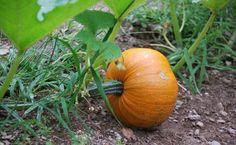 Las semillas de calabaza son eficaces para eliminar parásitos intestinales y tratar problemas de próstata.