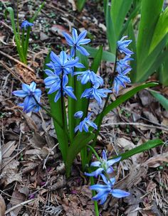 Siberian Squill (Scilla sp.) March bloomer