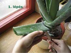 Ma már nálunk is kapható a számos jó tulajdonságáról híres Aloe vera gyógynövény, amelyből pár egyszerű lépéssel magunk is tápláló italt állíthatunk elő!