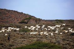 The Marsabit National park lies in northern Kenya, about north of Nairobi in Marsabit district. Marsabit forest is isolated by semi desert and desert, with vegetation ranging from scrubland . Nairobi, Kenya, Goat, National Parks, Mountains, Places, Nature, People, Travel